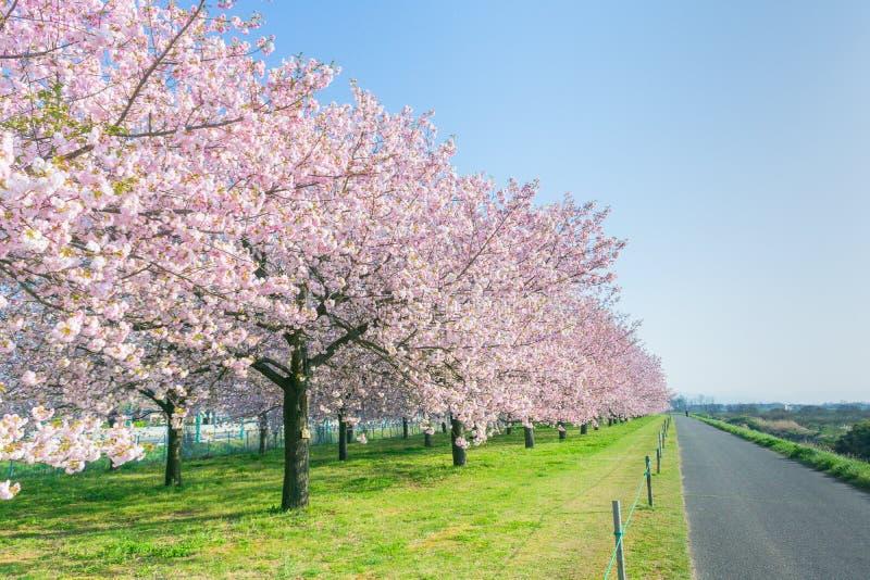 Árvores ou sakura bonito da flor de cerejeira que florescem ao lado do cou fotografia de stock royalty free