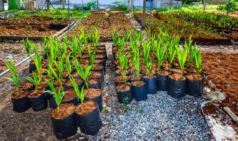 Árvores pequenas do coco novo preparações para tais variedades para p imagens de stock royalty free
