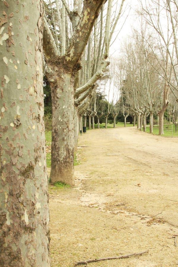 Árvores planas orientais foto de stock