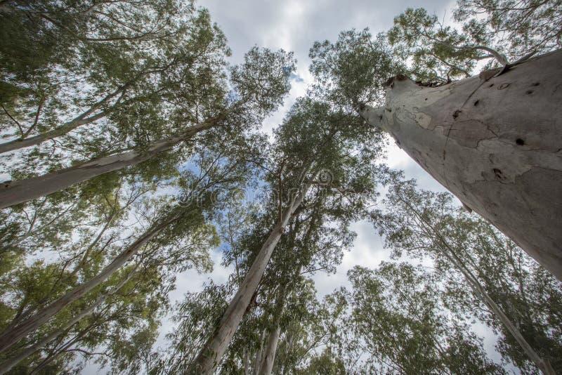 árvores que apontam para o céu fotos de stock royalty free
