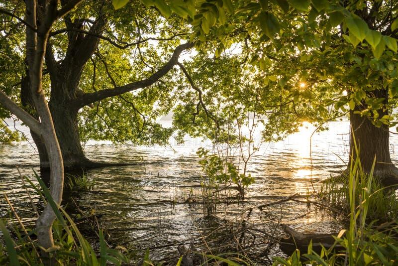 Árvores que crescem do lago raso imagem de stock royalty free