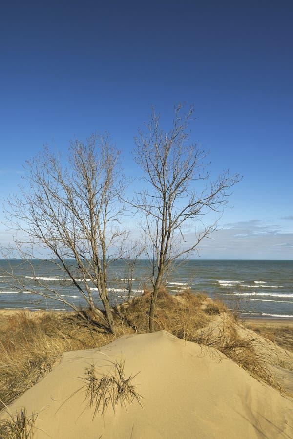 Árvores que crescem em dunas de areia foto de stock