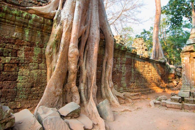 Árvores que enraízam nas paredes do ` s Angkor Wat Archaeological Park de Camboja fotos de stock royalty free