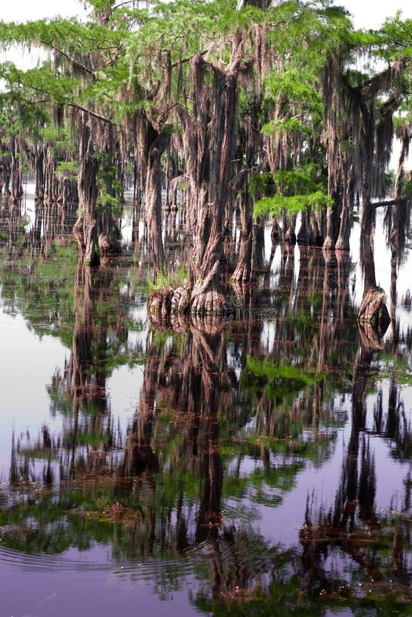 Árvores que reflecing no pântano imagem de stock royalty free