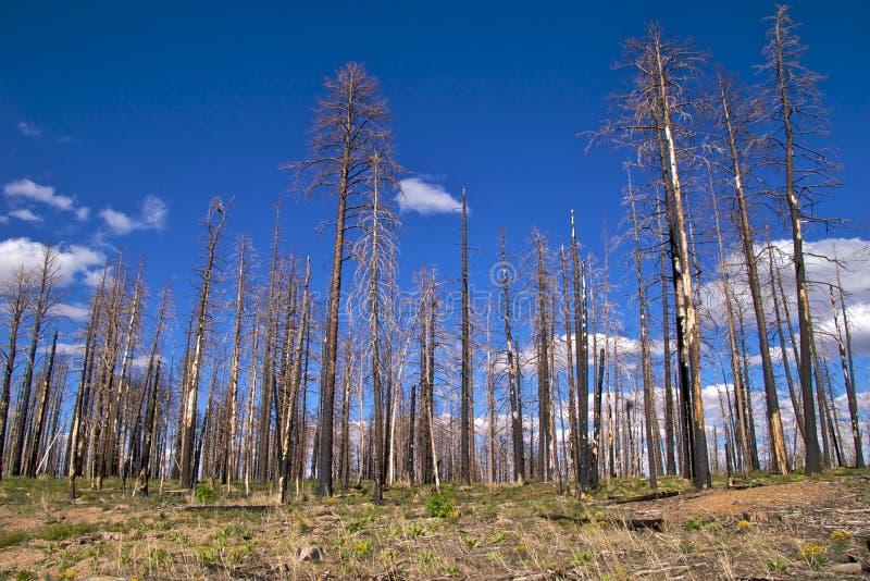 Download Árvores Queimadas, Borda Norte Da Garganta Grande Imagem de Stock - Imagem de unido, floresta: 12804319