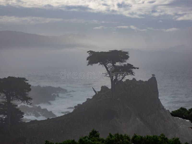 Árvores resistidas de Monterey Cypress na costa fotos de stock