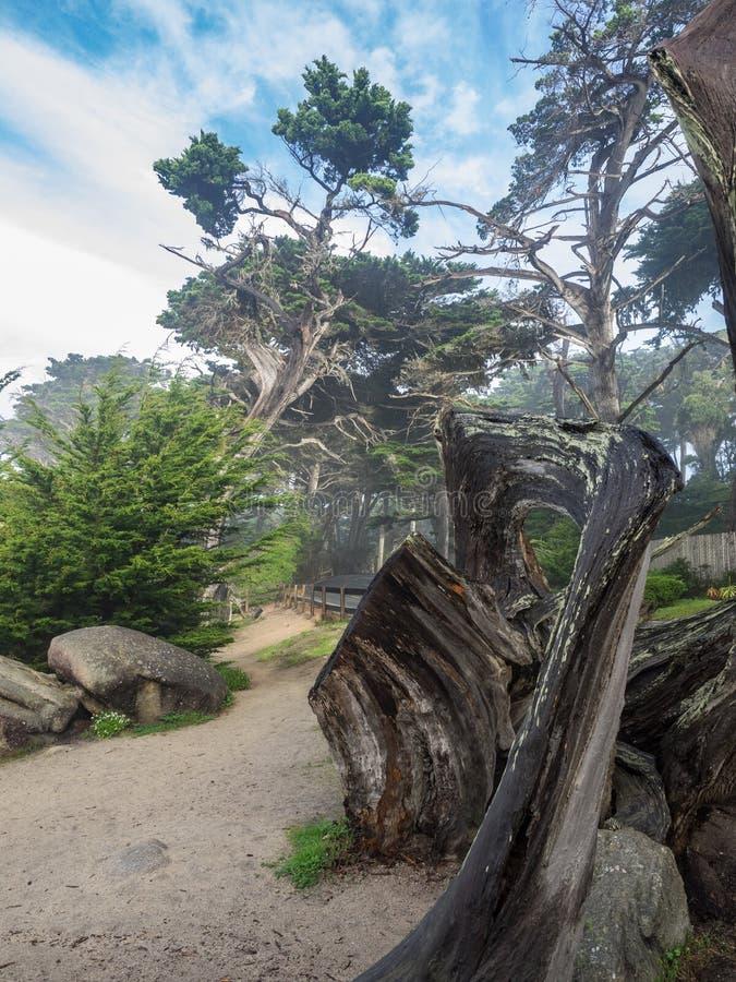 Árvores resistidas de Monterey Cypress na costa foto de stock