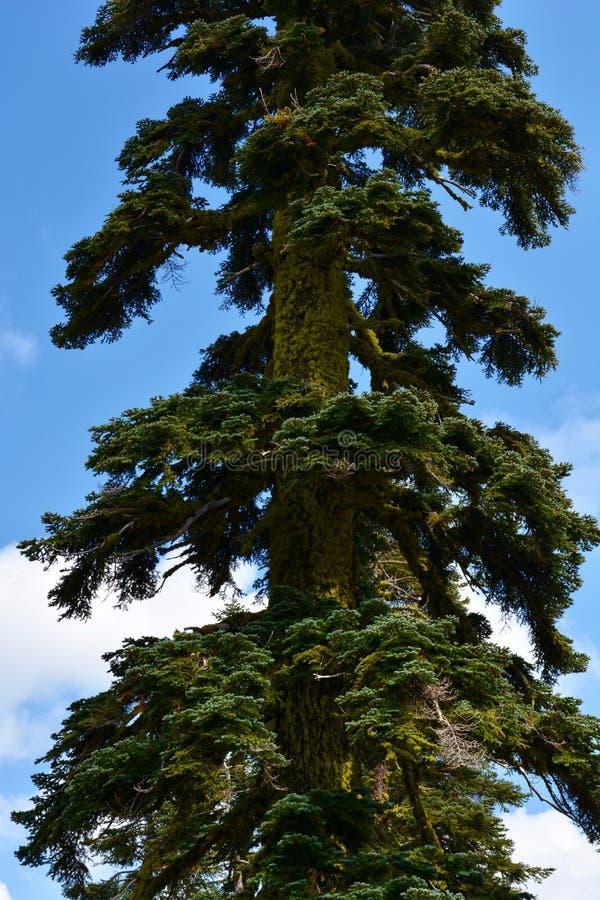 Árvores sempre-verdes com musgo verde-claro imagem de stock