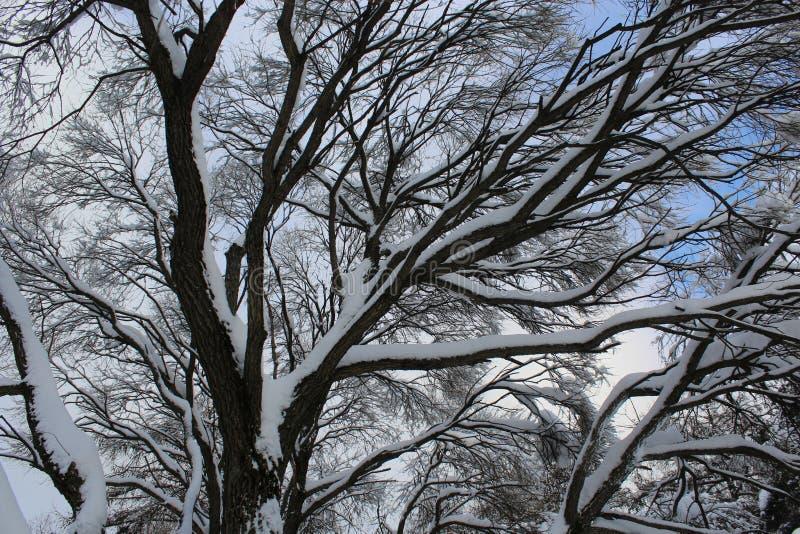 Árvores Snow-covered de encontro ao céu azul foto de stock