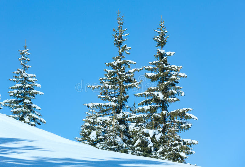 Árvores spruce do inverno no fundo do céu azul foto de stock royalty free
