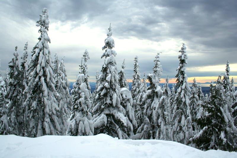 Árvores spruce Snow-covered fotografia de stock