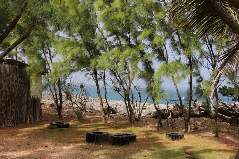Árvores tropicais, Barbados fotos de stock