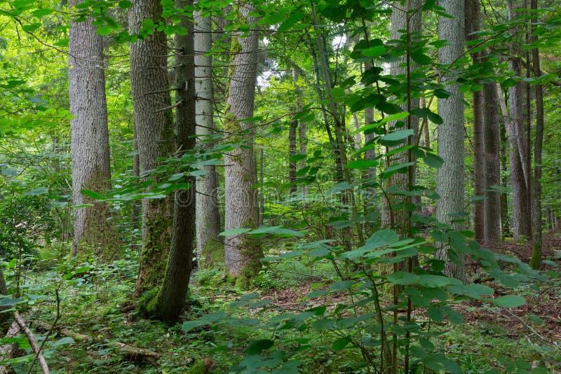 Árvores velhas da floresta de Bialowieza fotos de stock