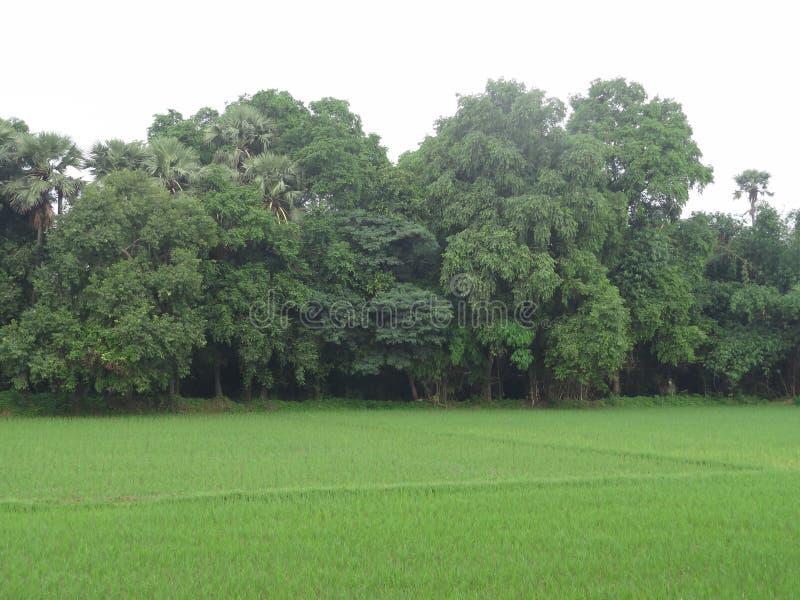 Árvores verdes com campos verdes fotos de stock