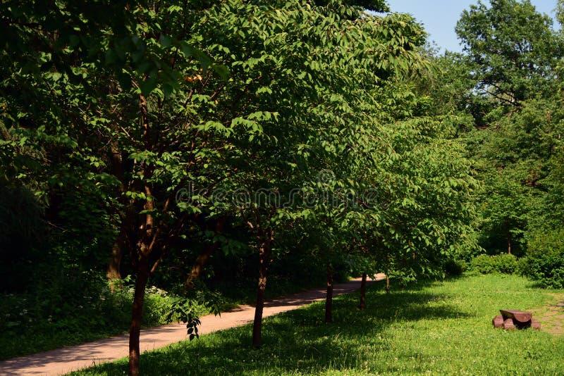 Árvores verdes em um parque do verão Jardim japonês no arboreto de Birulevsky fotos de stock