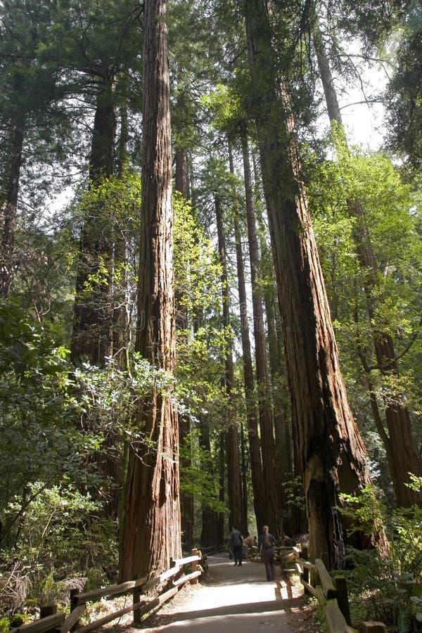 Árvores vermelhas das madeiras imagens de stock
