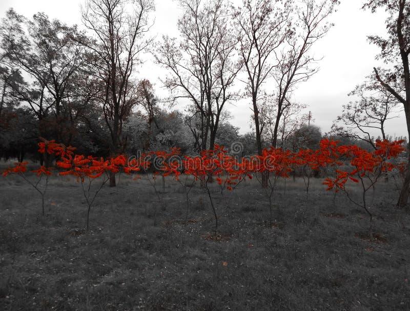 Árvores vermelhas no jardim na mola em um fundo preto e branco fotografia de stock royalty free