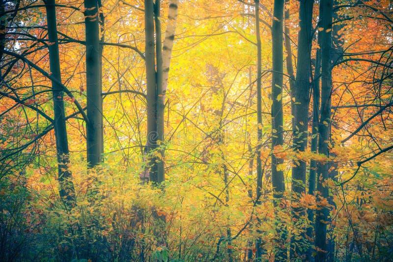 Árvores vibrantes na floresta nevoenta do outono imagens de stock royalty free