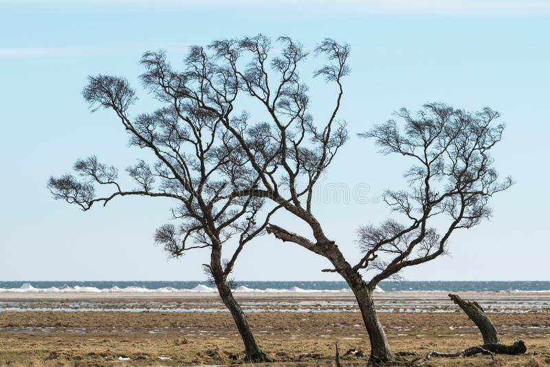 Árvores Windblown pela costa fotografia de stock royalty free