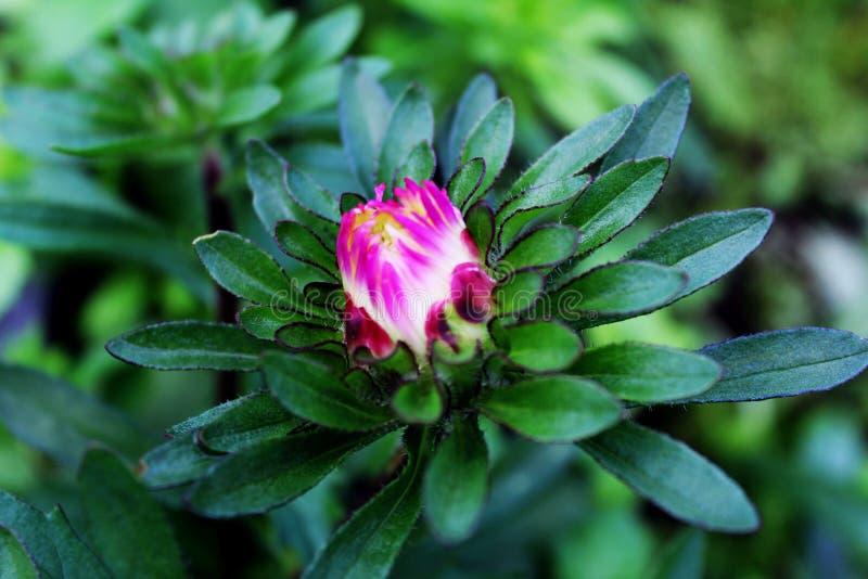 Áster cor-de-rosa no jardim imagens de stock royalty free