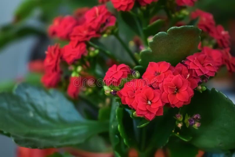 €˜Leonardo' de Calandiva, kalanchoe de la Navidad, blossfeldiana llameante de Katy Kalanchoe con las flores rojas fotografía de archivo libre de regalías