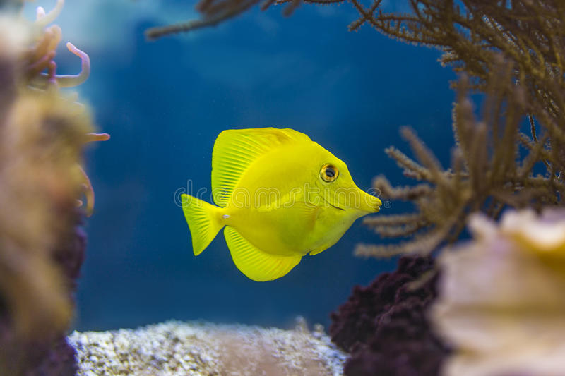 'Bubbles' the yellow tang royalty free stock images
