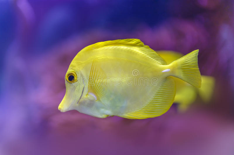'Bubbles' the yellow tang stock image