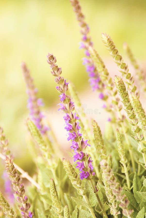 'Twickel Purple' σε έναν κήπο πράσινου στοκ εικόνες