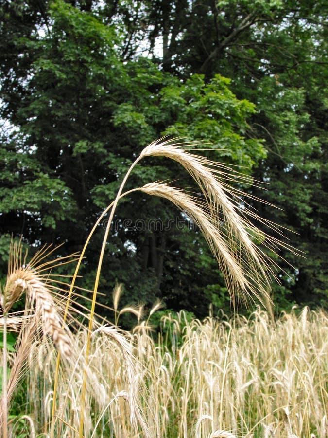 3 de blé d'hiver photos stock