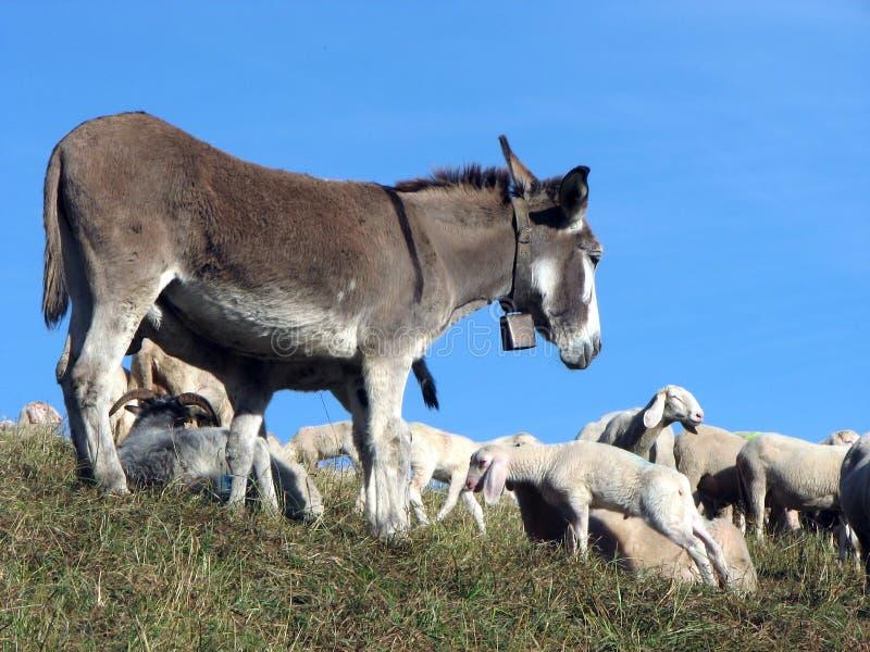 ÂNE au pâturage avec un troupeau de moutons photo libre de droits