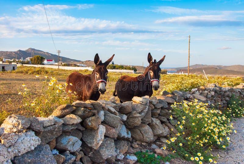 Âne de remorquage sur le champ avec des wildflowers. Mykonos. La Grèce. image stock