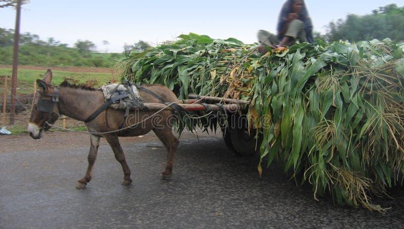 Âne et le maïs photographie stock libre de droits