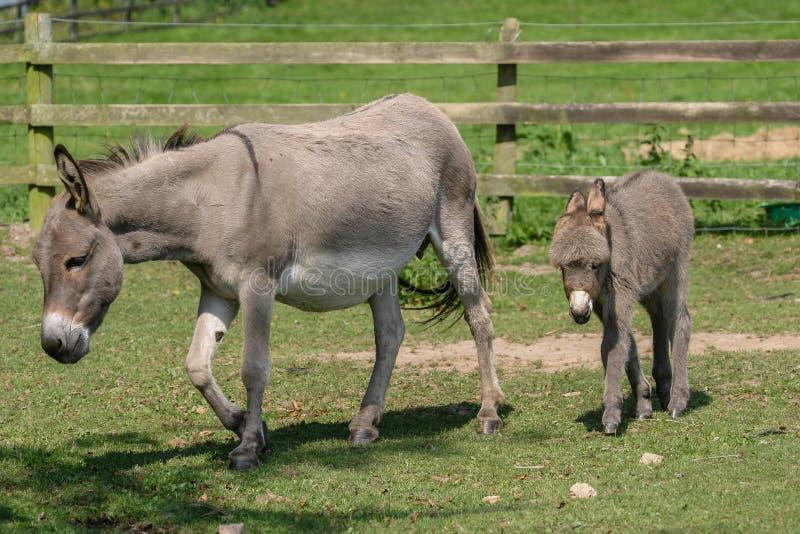 Ne femelle avec son vieux jeune poulain de deux mois d 39 ne de b b marchant derri re elle photo - Bebe de l ane ...