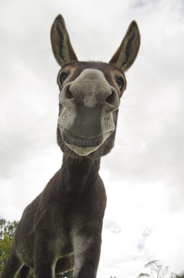 Âne ou âne drôle et idiot images libres de droits