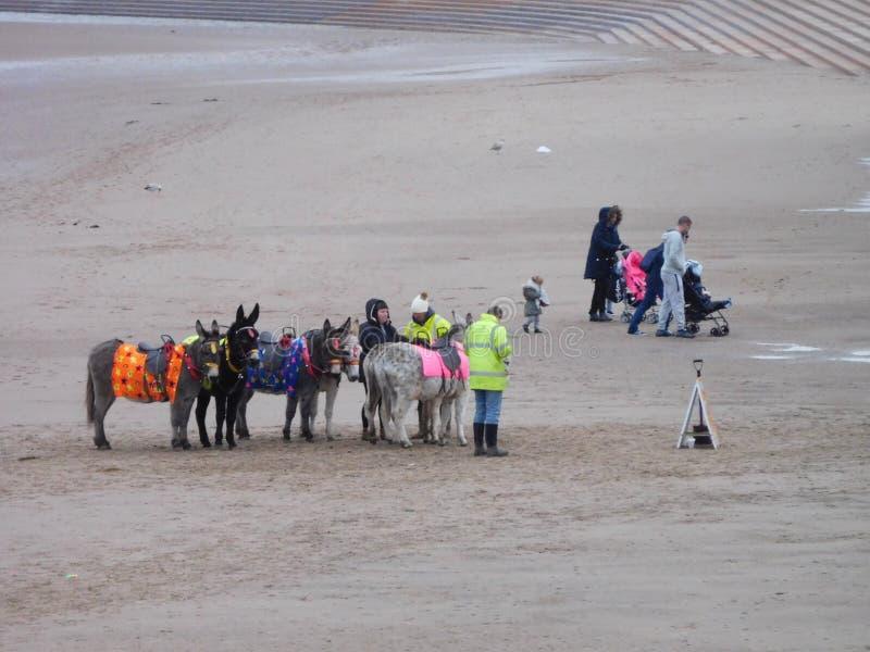 Ânes de Blackpool photographie stock libre de droits