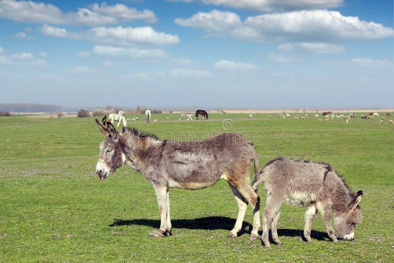 Ânes et animaux de ferme photo libre de droits