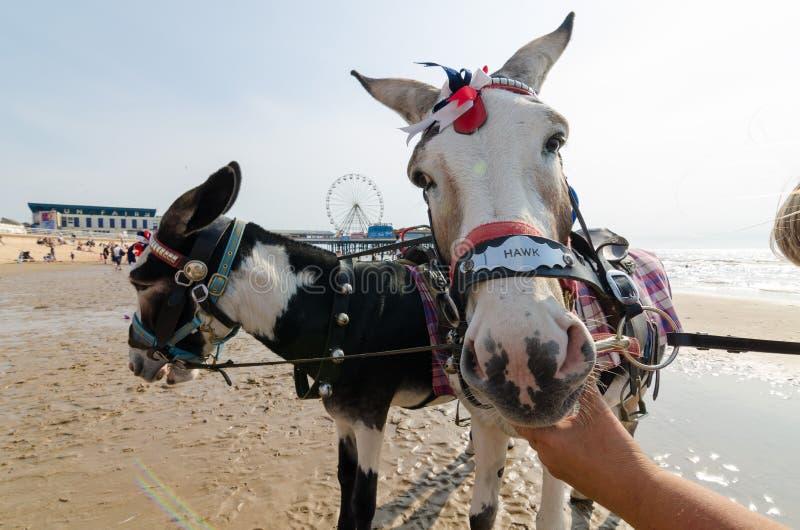 Ânes sur la plage de Blackpool, tours d'âne photo stock