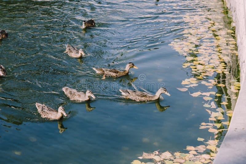 Ângulo alto de 5 patos selvagens nas águas azuis do rio na fotografia de stock