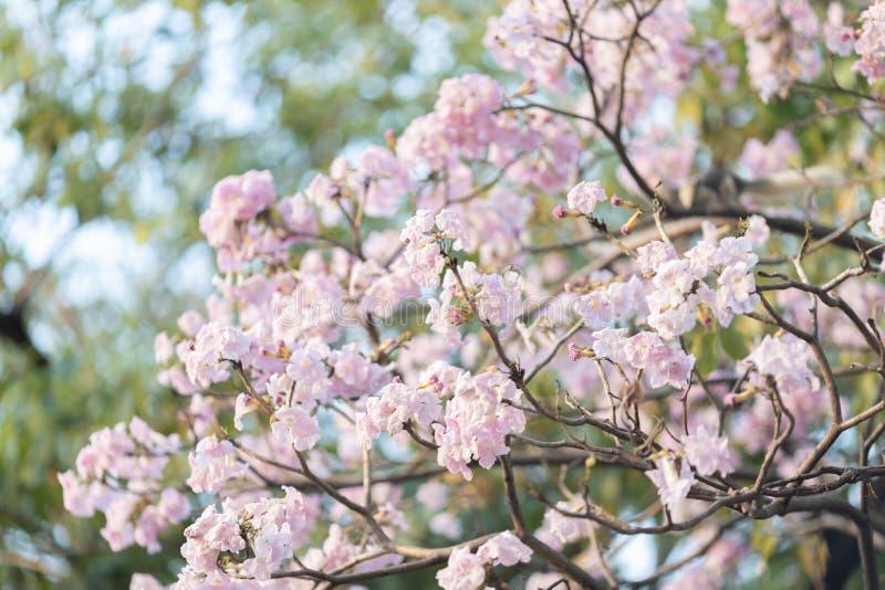 Árbol de trompeta rosado foto de archivo
