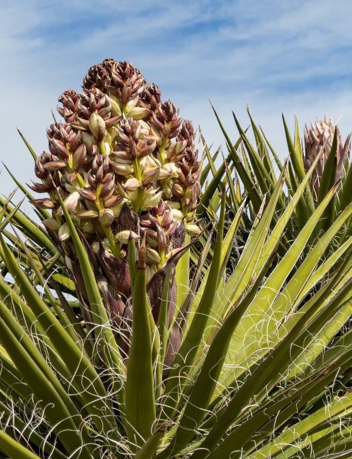 丝兰植物,新的绽放 免版税库存照片