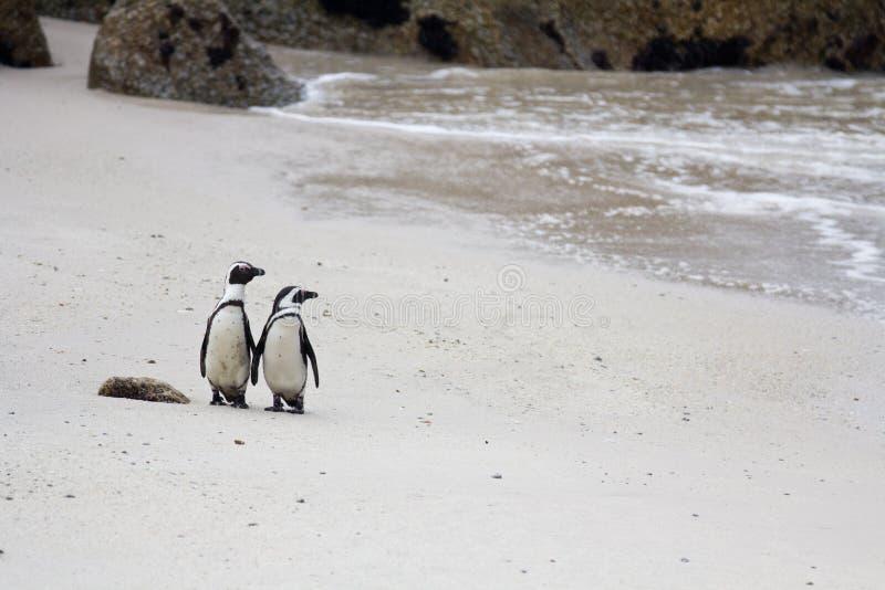 两只在冰砾的逗人喜爱的非洲企鹅蠢企鹅demersus在看对的沙子的开普敦南非附近靠岸 库存照片
