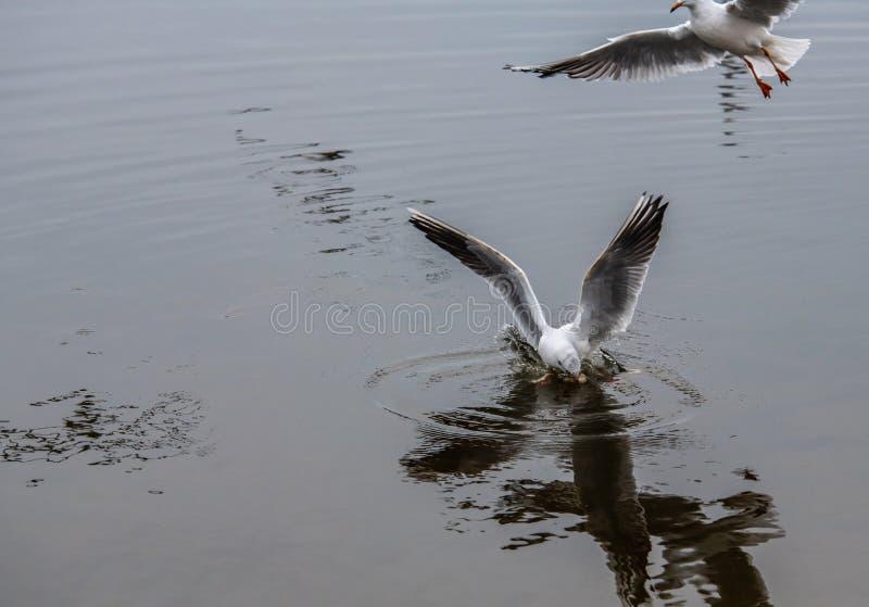 两只海鸥在食物自然冬天战斗生存 免版税库存图片