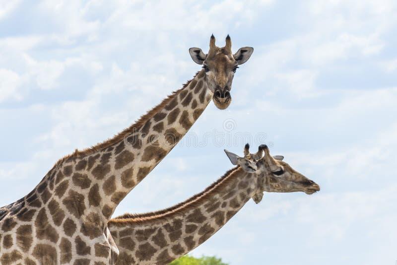 两头长颈鹿在埃托沙国家公园 库存照片