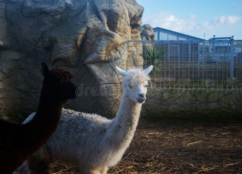 两羊魄 免版税库存照片