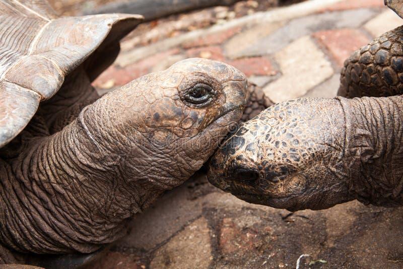 两阿尔达布拉环礁巨型草龟Aldabrachelys gigantea 库存图片