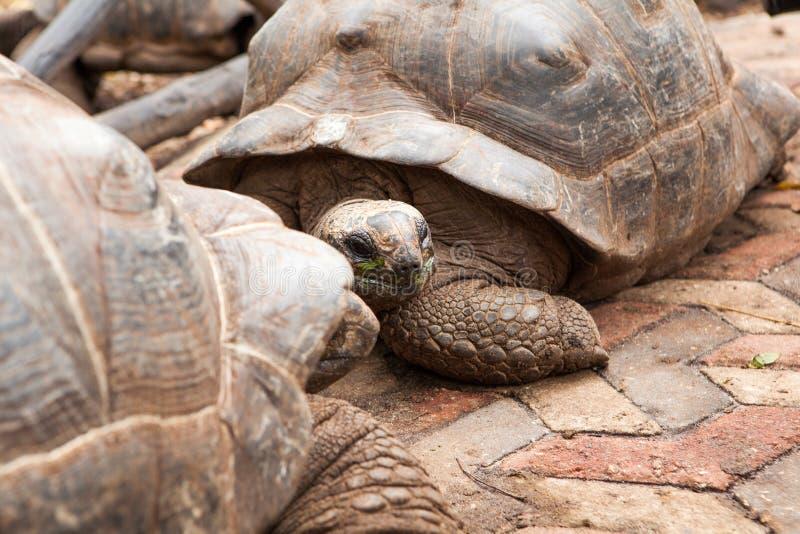 两阿尔达布拉环礁巨型草龟Aldabrachelys gigantea 图库摄影