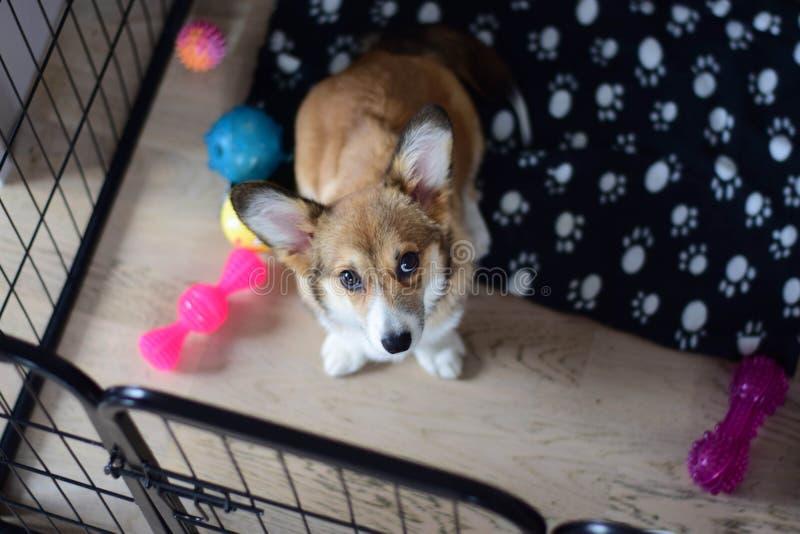 4个在一个条板箱的月大威尔士小狗小狗在条板箱训练期间 免版税库存照片