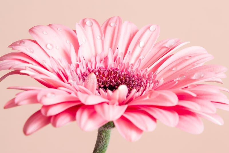 与下落特写镜头的桃红色大丁草花 免版税库存图片