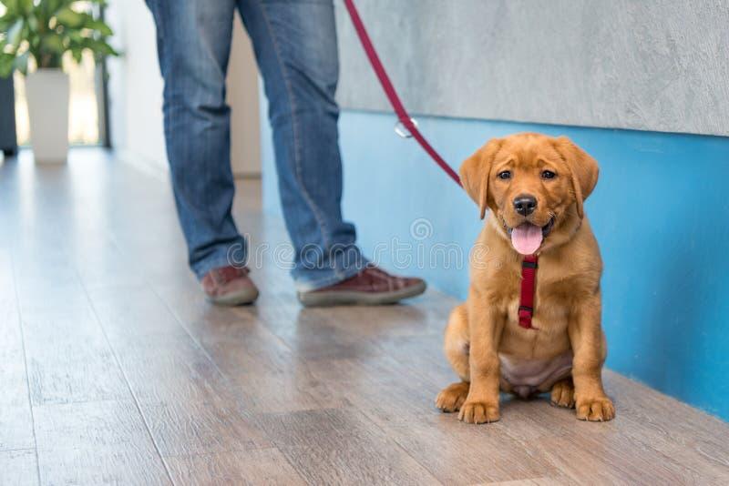 与他的所有者的拉布拉多小狗在现代兽医实践的招待会的一条皮带 免版税库存照片