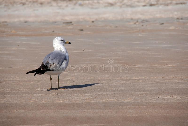 与他的脚的孤立海鸥在沙子 库存照片